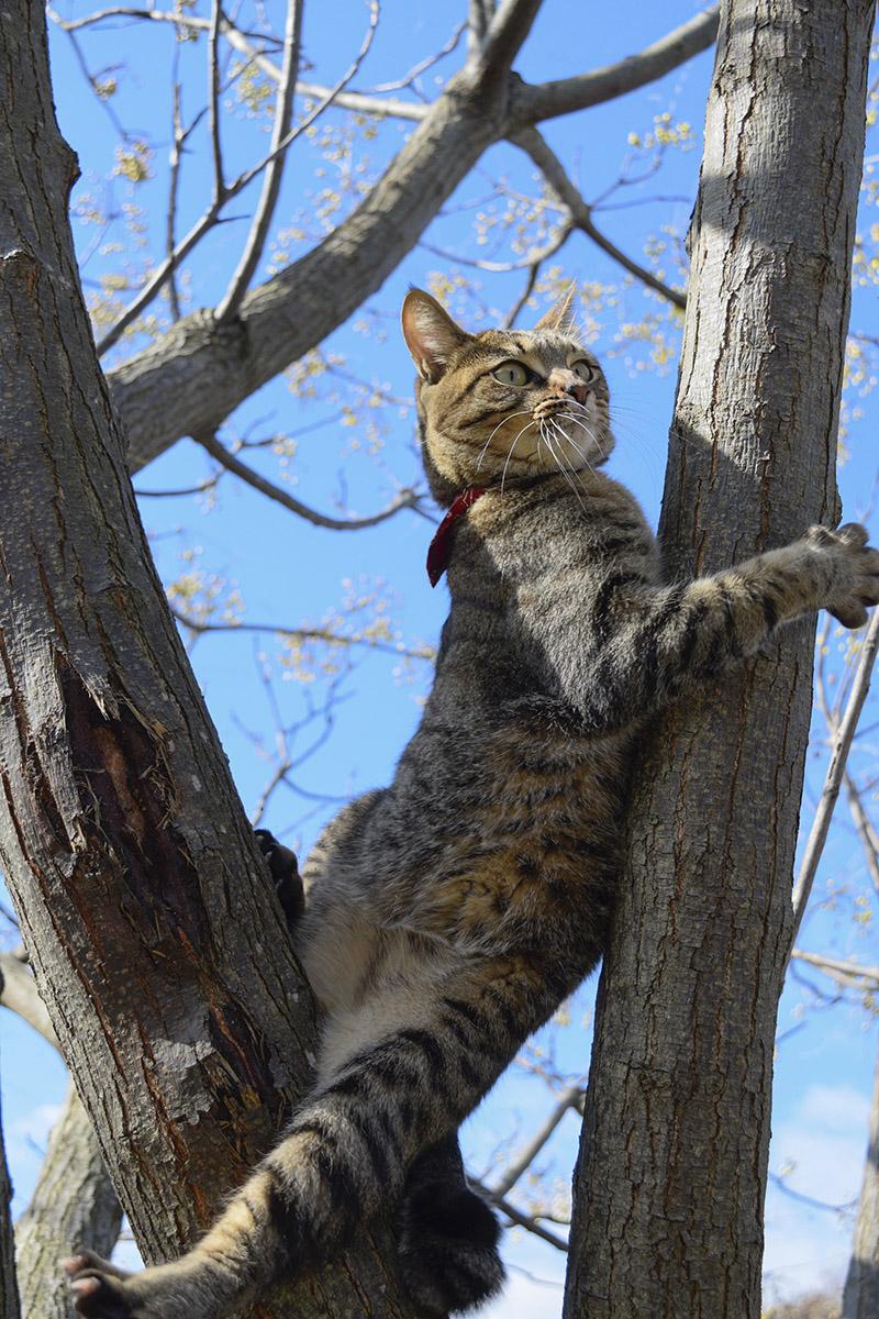 木から足を滑らすキジトラ猫の虎ノ介