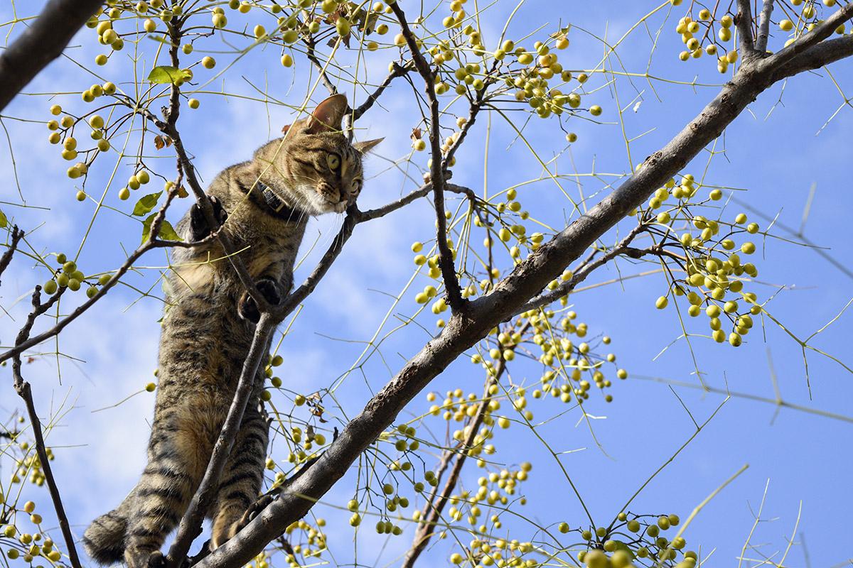 どんどん高いところにのぼっていくキジトラ猫の虎ノ介