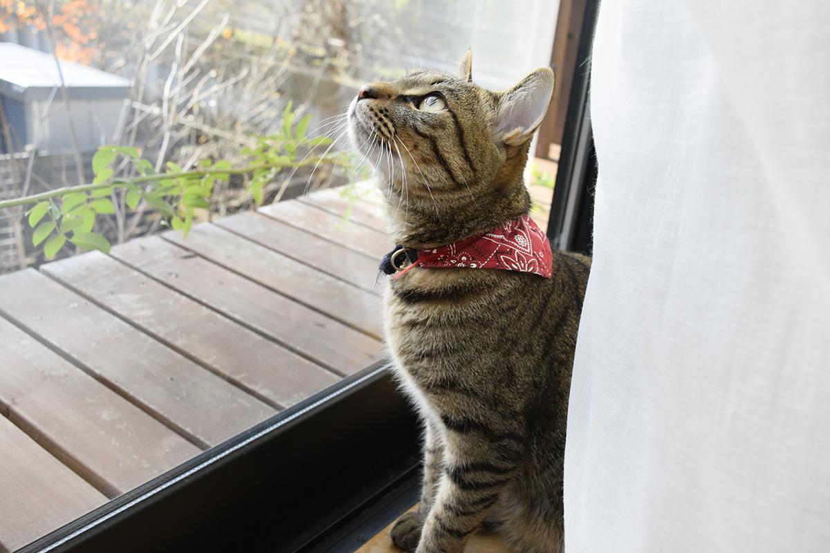 ベランダの窓から鳥をながめるキジトラ猫の虎ノ介