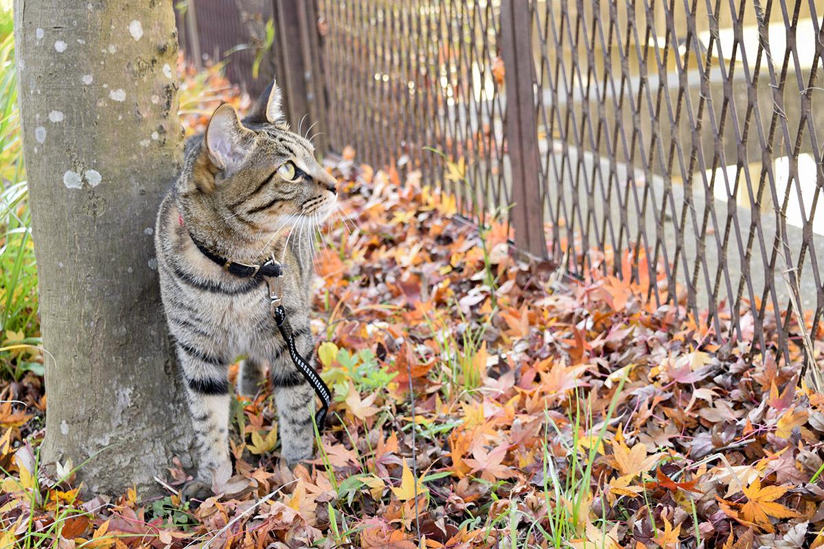 遊歩道をあるくキジトラ猫の虎ノ介