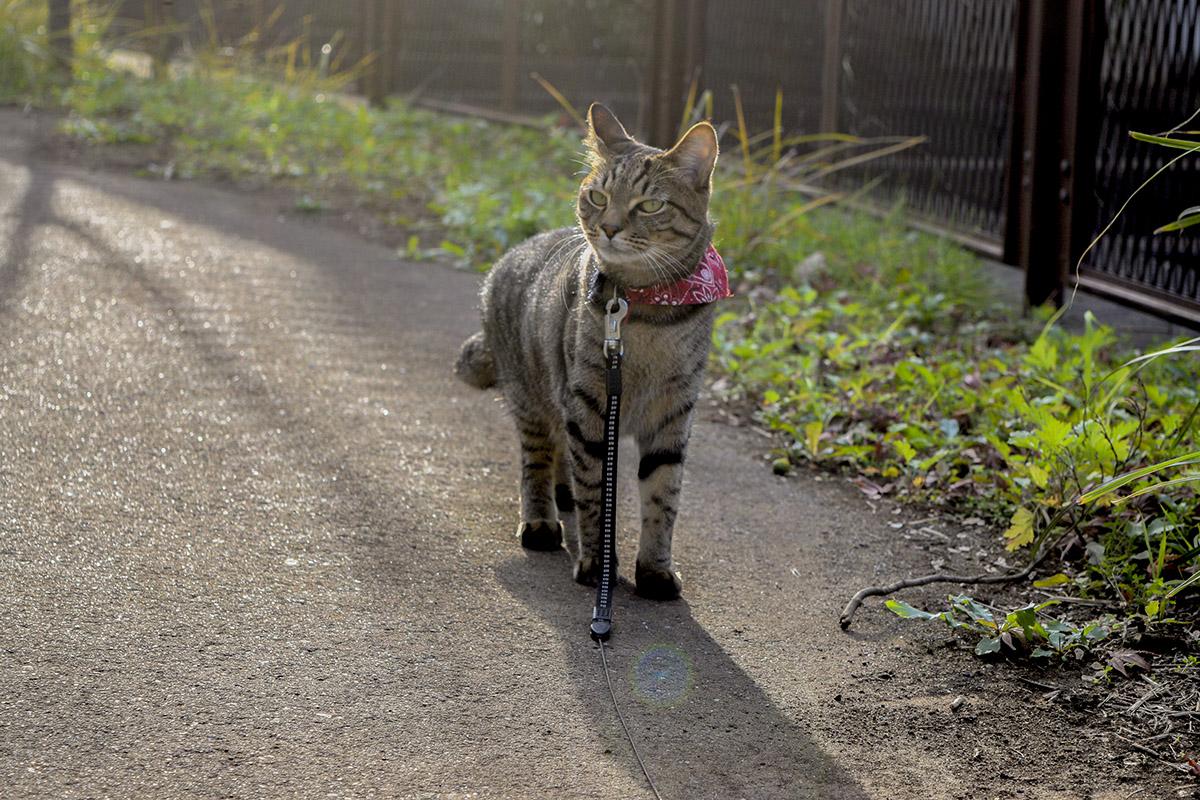 遊歩道を歩くキジトラ猫の虎ノ介