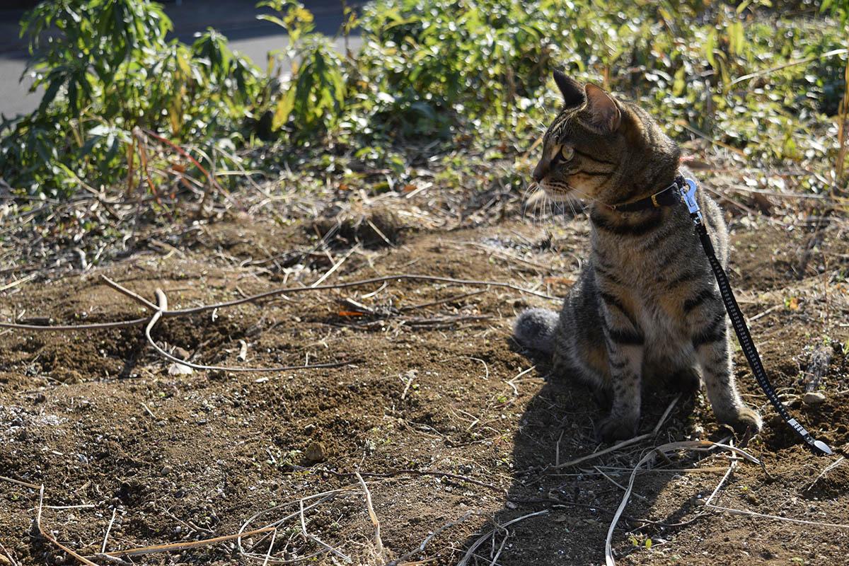 バッタを見失ったキジトラ猫の虎ノ介