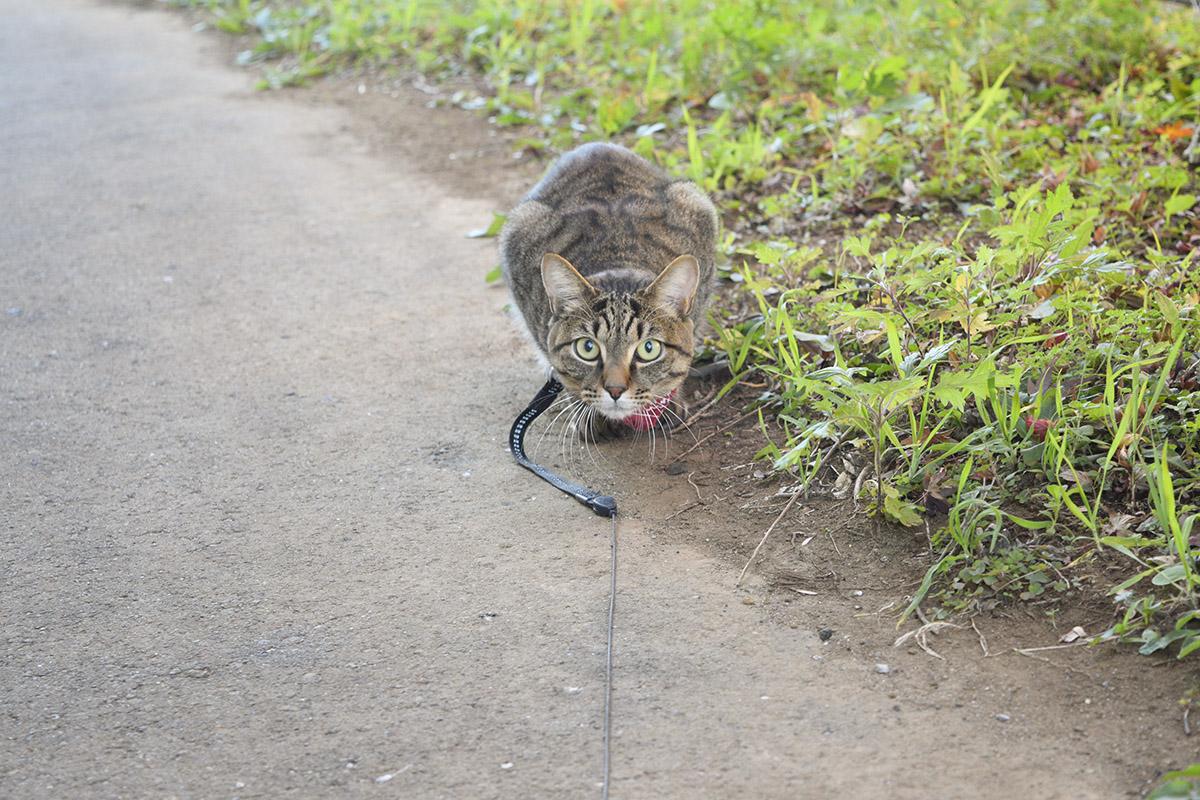 瞳孔が開き気味で人間を狙うキジトラ猫の虎ノ介