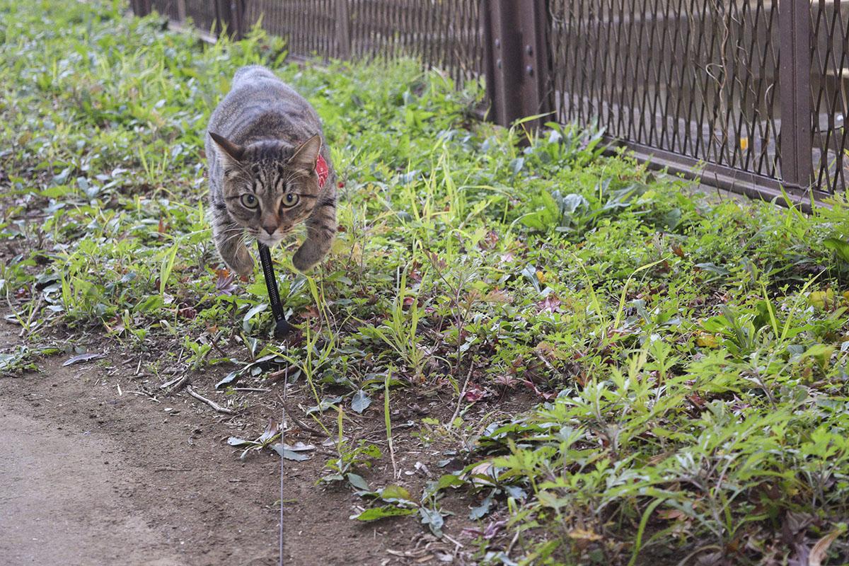 人間にとびかかるキジトラ猫の虎ノ介