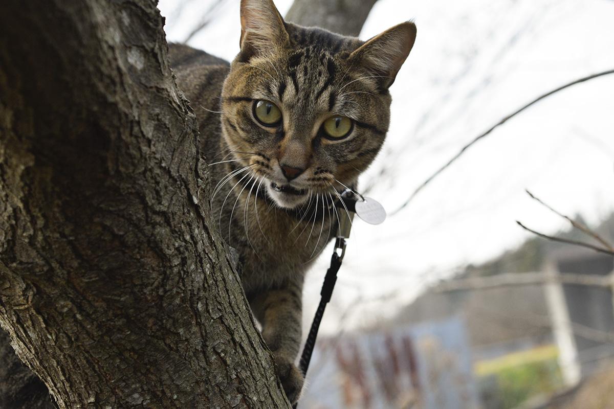 木から降ろされそうになって文句をいうキジトラ猫の虎ノ介