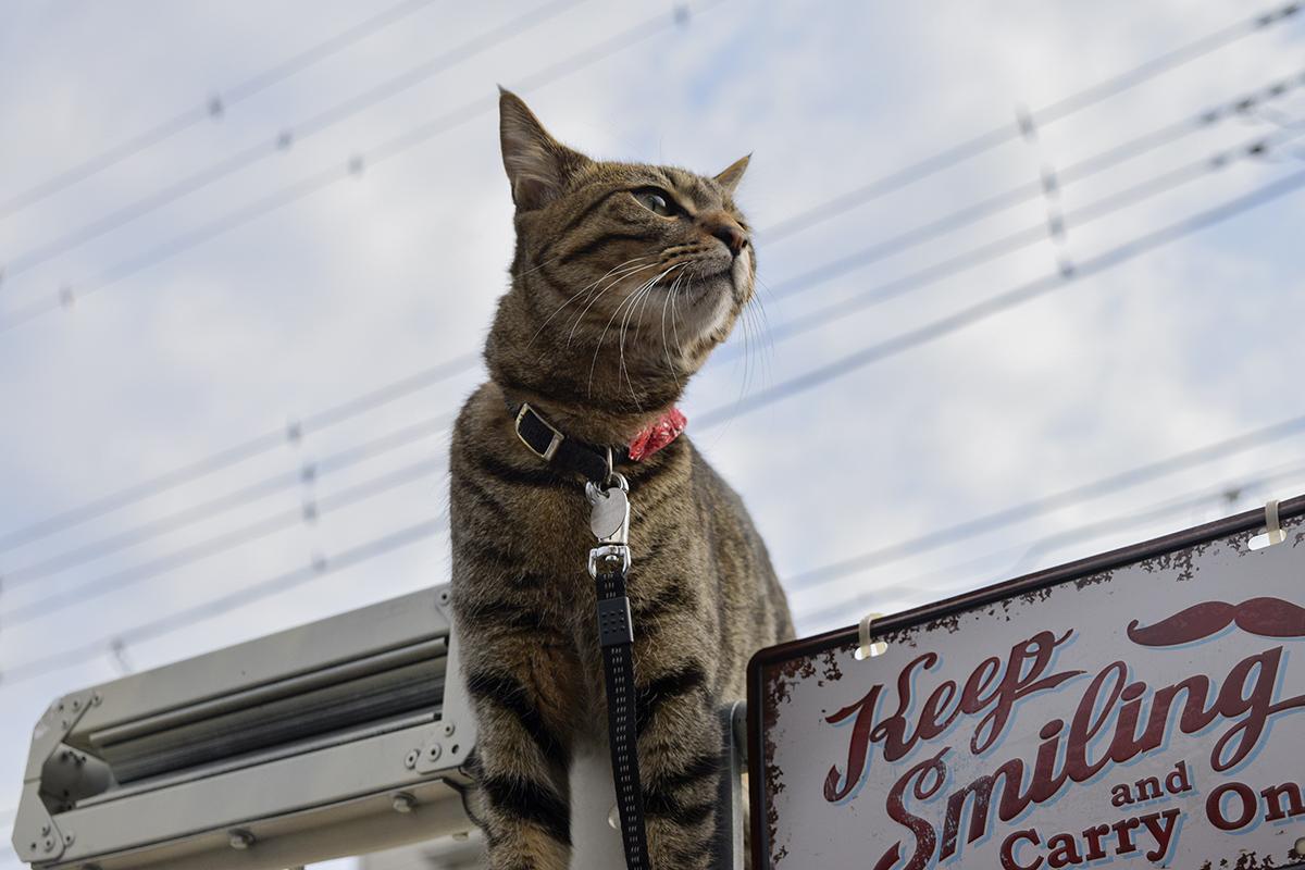 車の上にのるキジトラ猫の虎ノ介