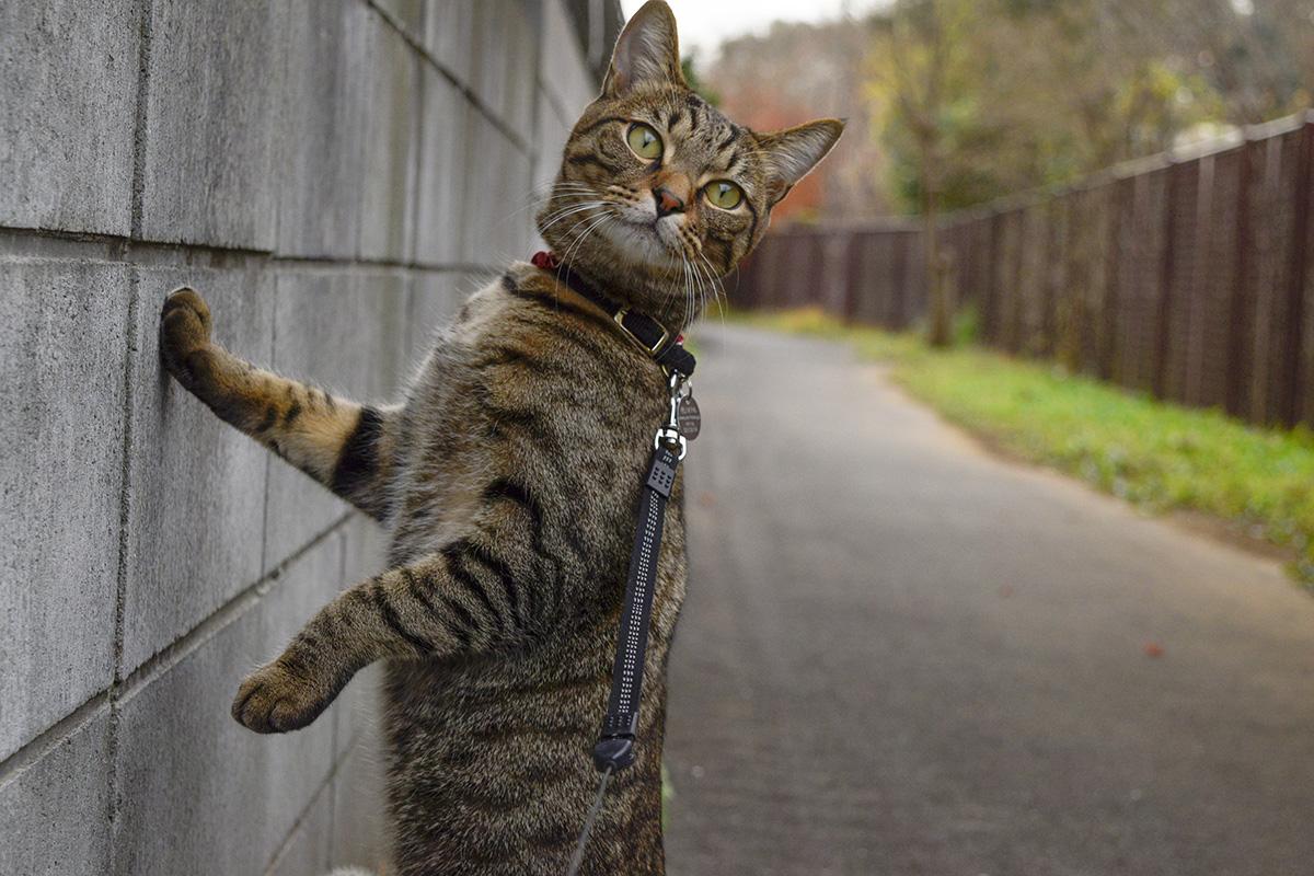 木を見つめるキジトラ猫の虎ノ介