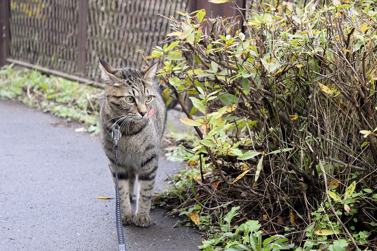 雨上がりに犬とすれ違うキジトラ猫の虎ノ介