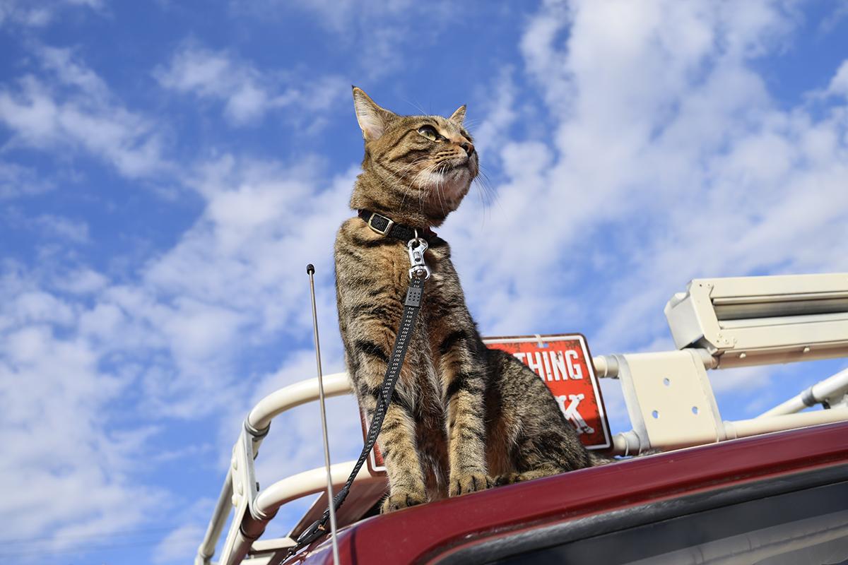 車の上で鳥を見つめるキジトラ猫の虎ノ介