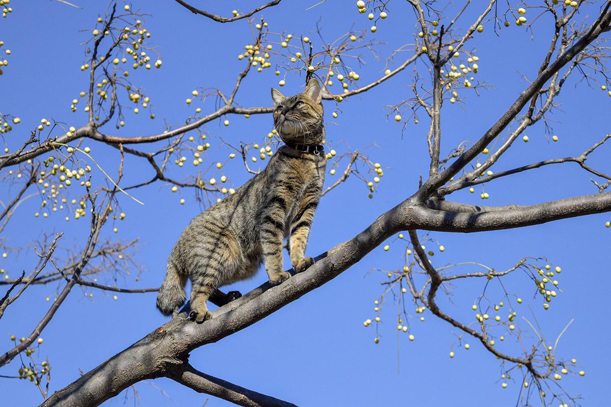 木の上のほうに登るキジトラ猫の虎ノ介