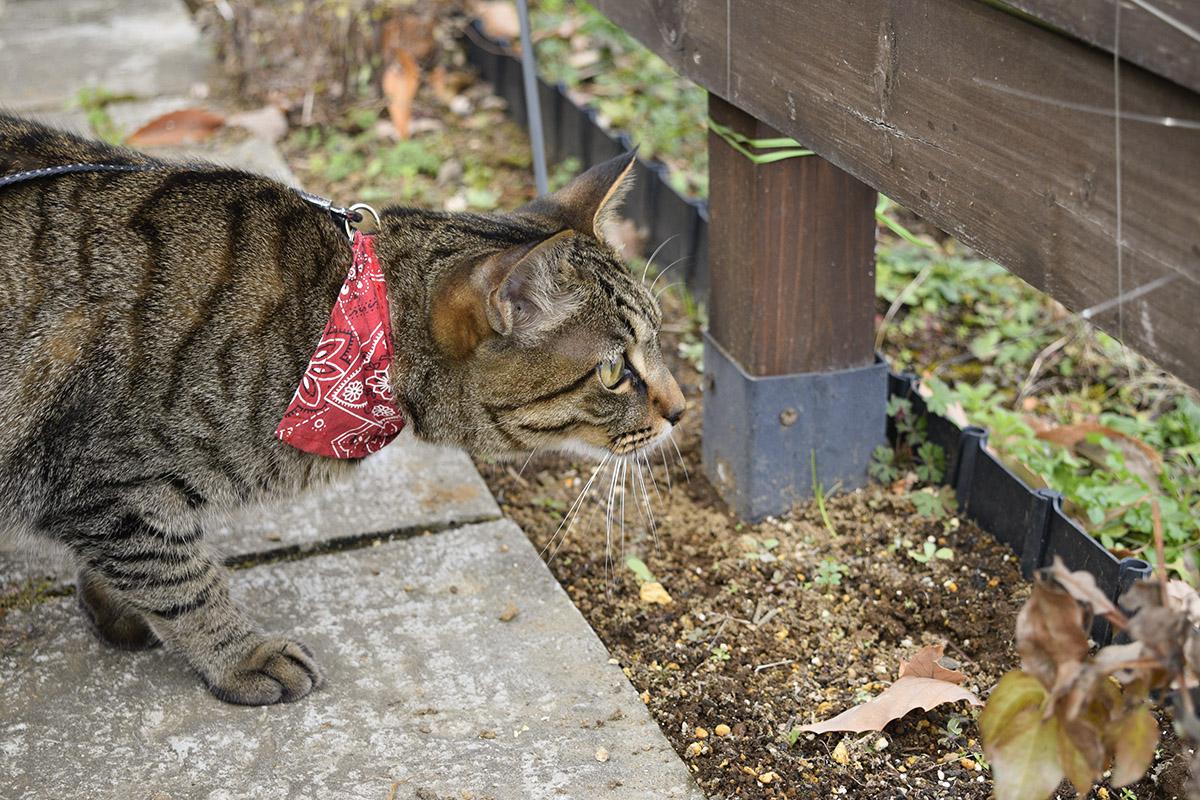 フェンスの隙間から空き地をのぞくキジトラ猫の虎ノ介