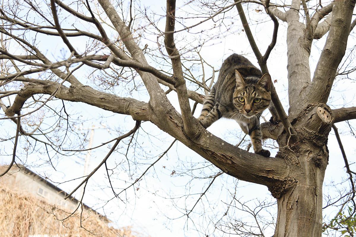 木の上でふんばるキジトラ猫の虎ノ介