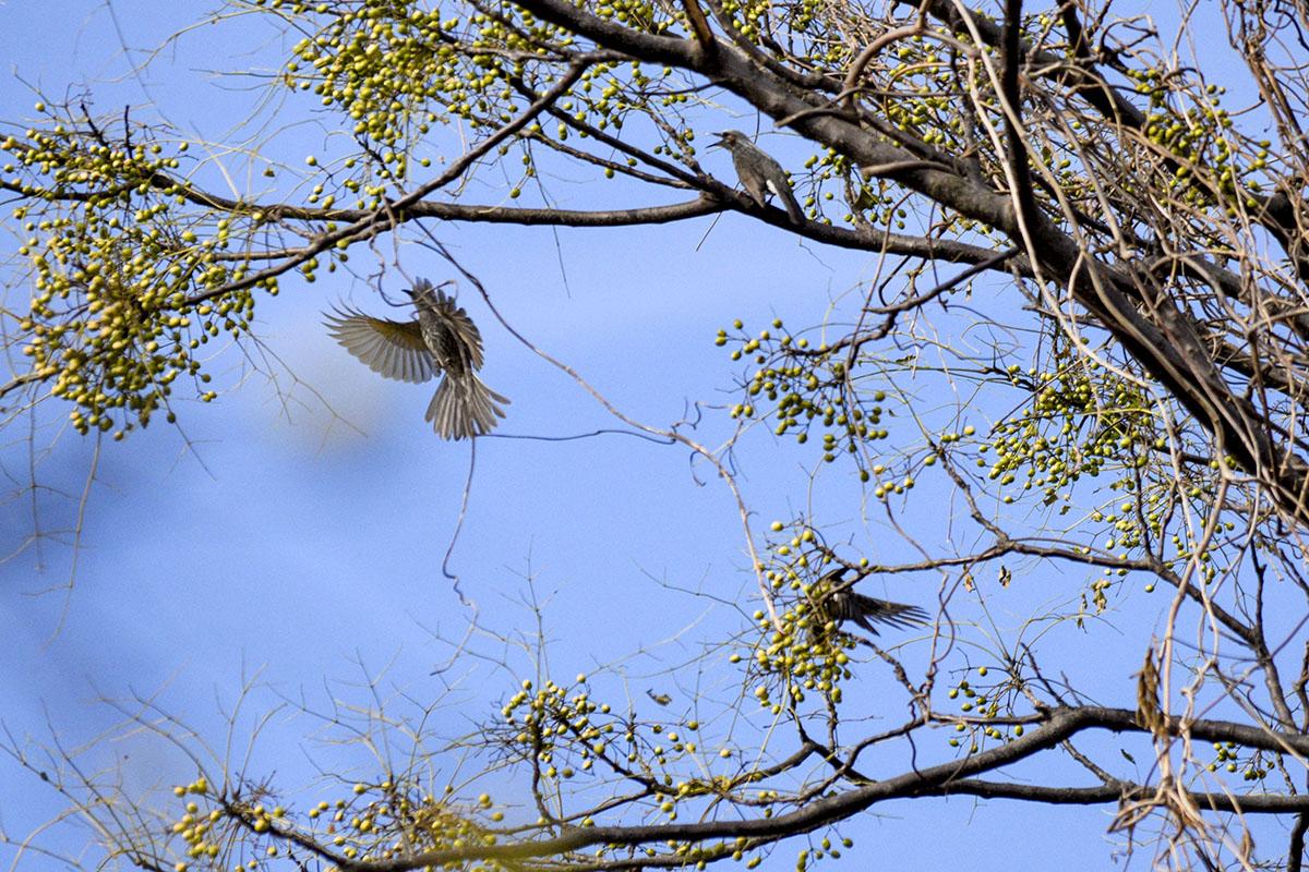 木の実をついばむヒヨドリたち