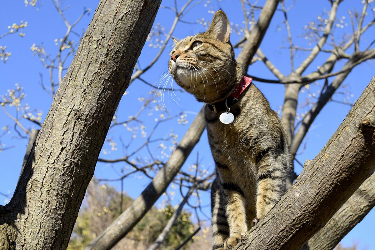 枝から空をみあげるキジトラ猫の虎ノ介