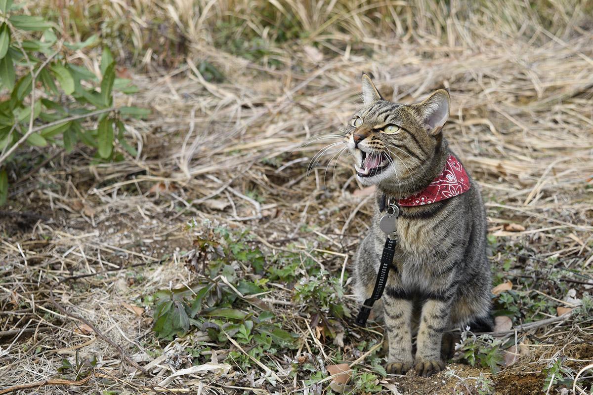 カラスに向かって叫びキジトラ猫の虎ノ介