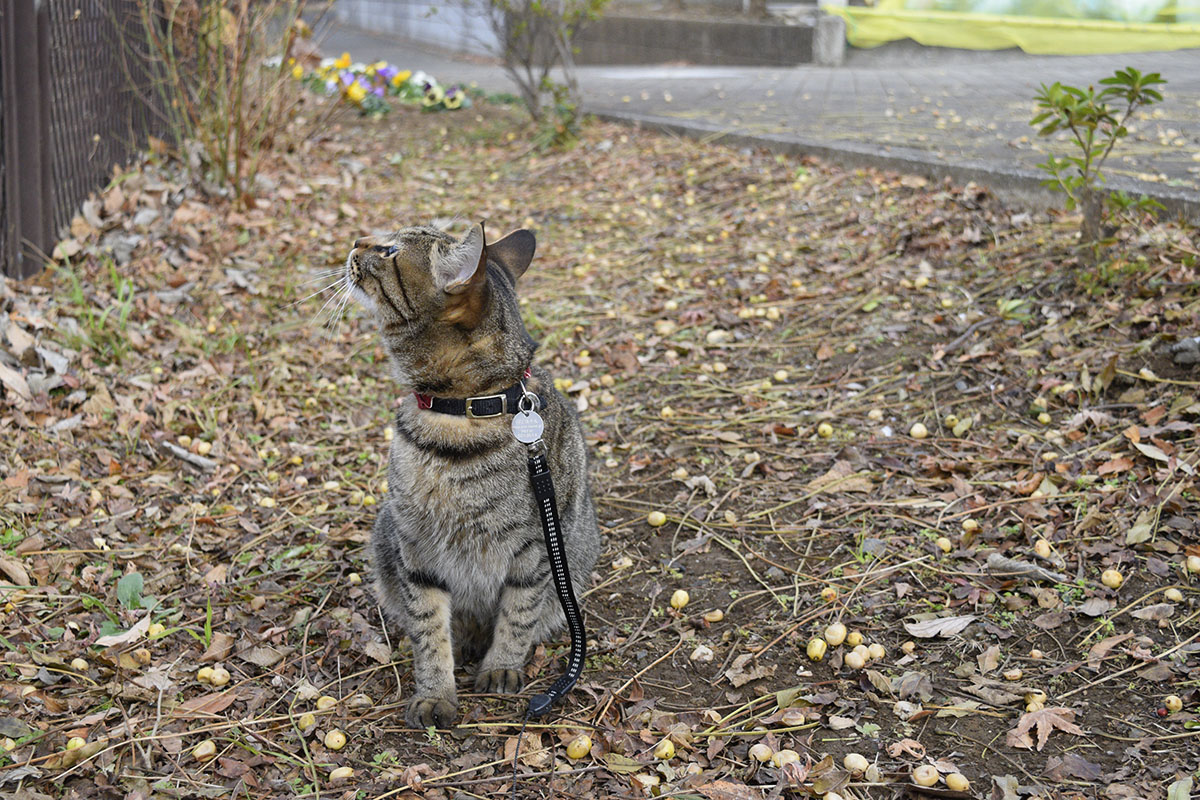 鳥を見つめるキジトラ猫の虎ノ介