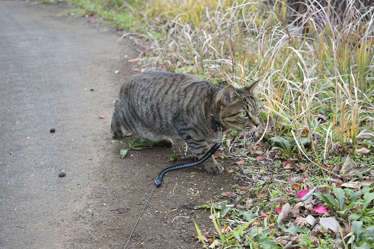 こっそりと鳥に近づくキジトラ猫の虎ノ介