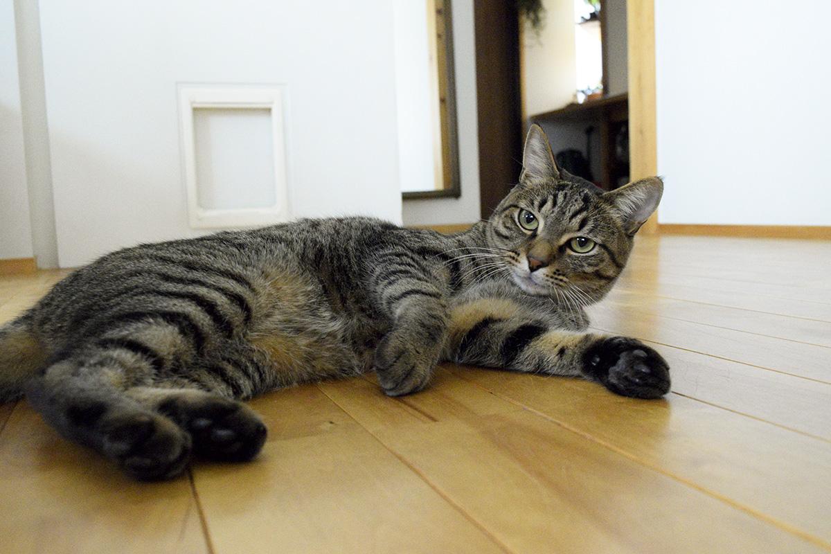 家の中で暇を持て余すキジトラ猫の虎ノ介