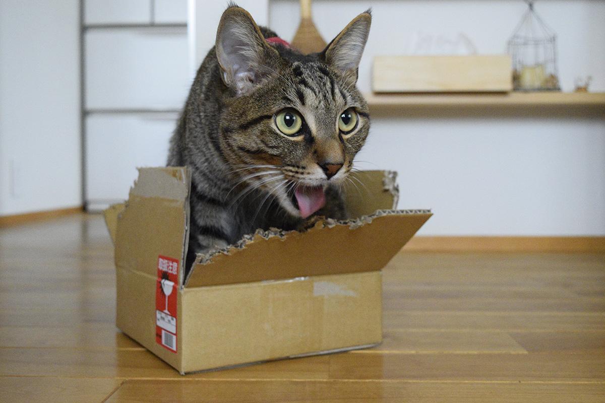 段ボールに夢中になって壊れかけのキジトラ猫の虎ノ介