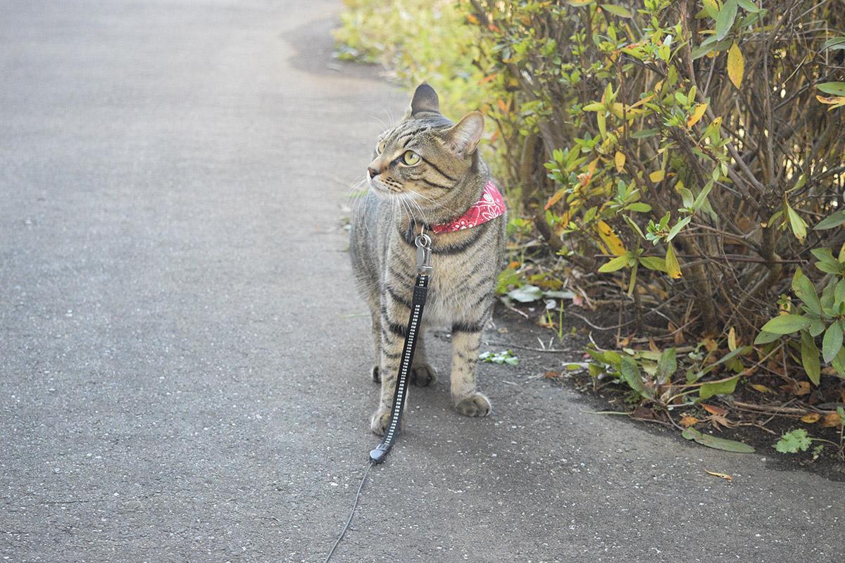 遊歩道のパトロールをするキジトラ猫の虎ノ介