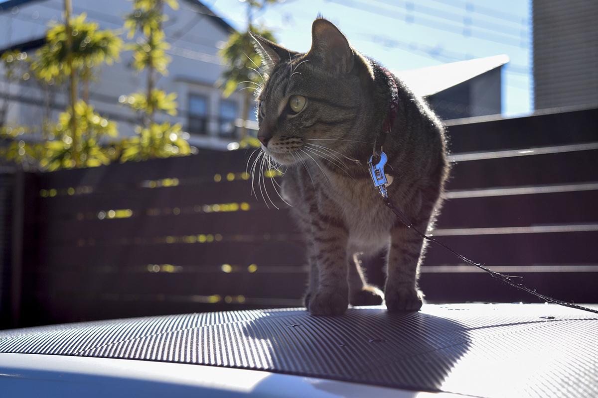 車の上から空き地をチェックするキジトラ猫の虎ノ介