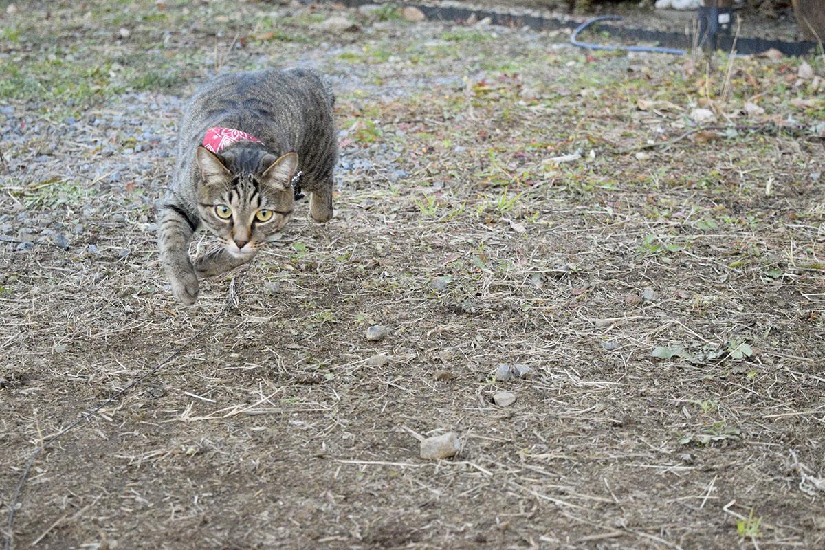 空き地で走るキジトラ猫の虎ノ介
