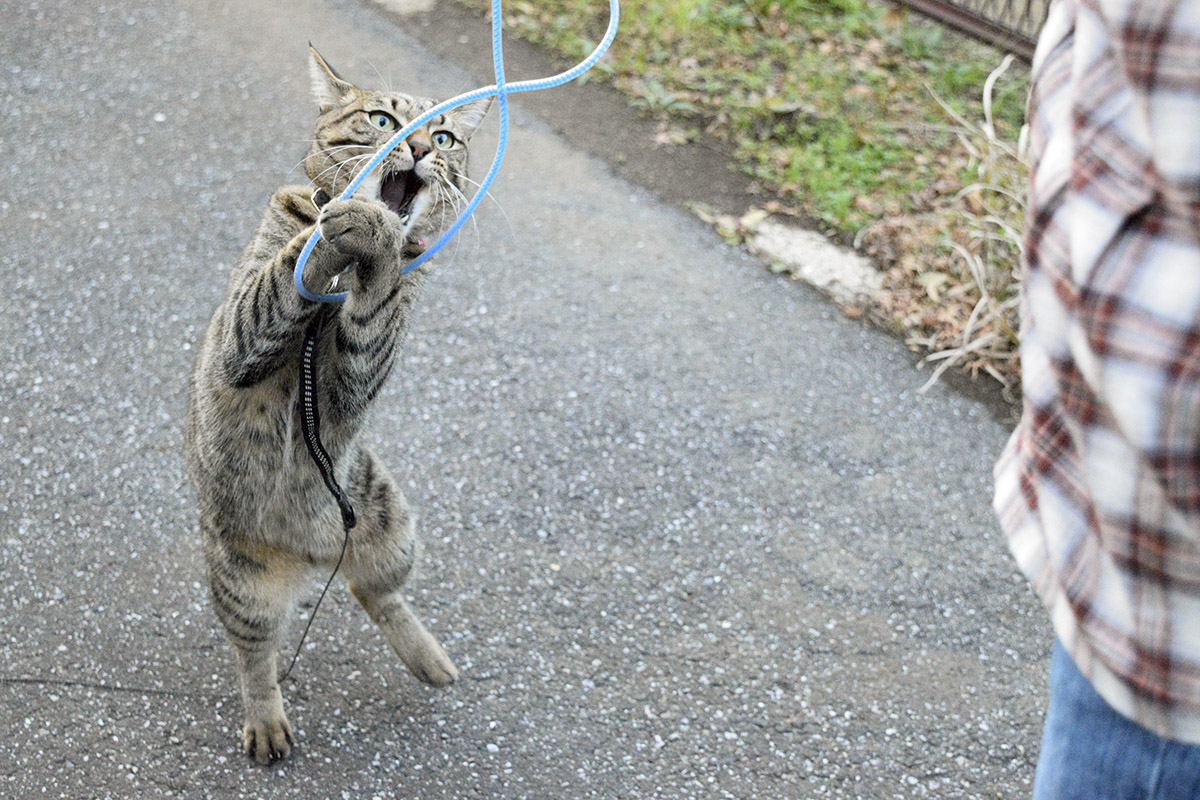 縄跳びにじゃれるキジトラ猫の虎ノ介