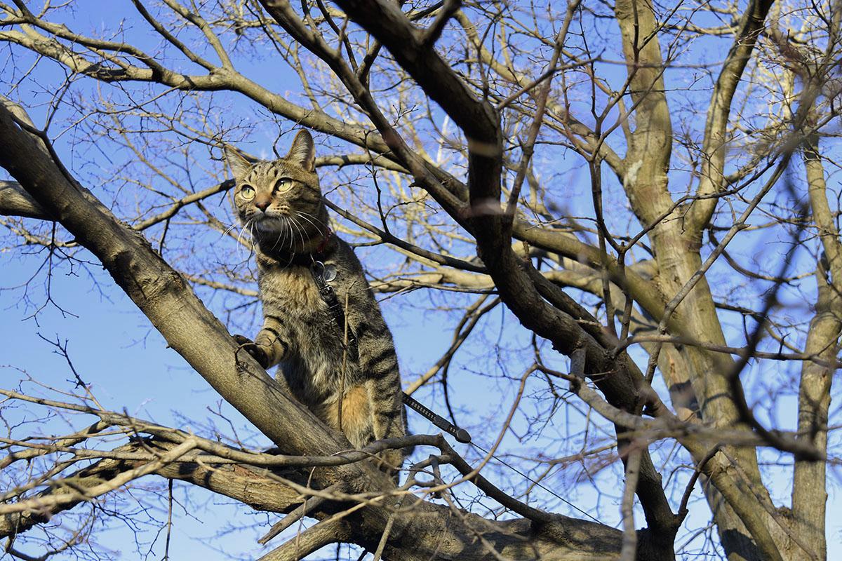 木の上に登りキジトラ猫の虎ノ介