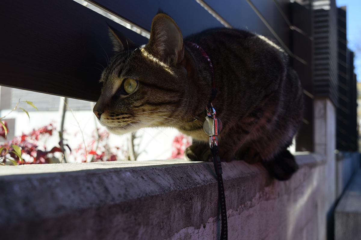 フェンスの隙間から外をチェックするキジトラ猫の虎ノ介