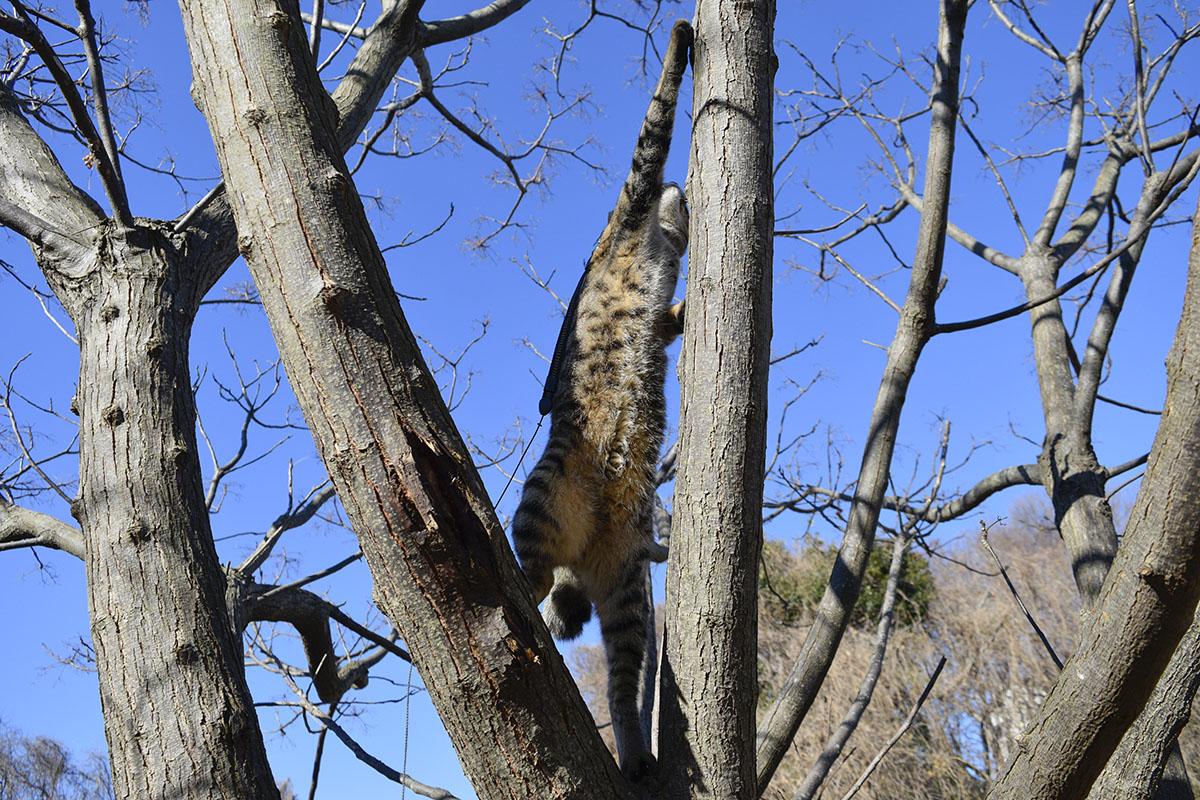 枝に登るキジトラ猫の虎ノ介