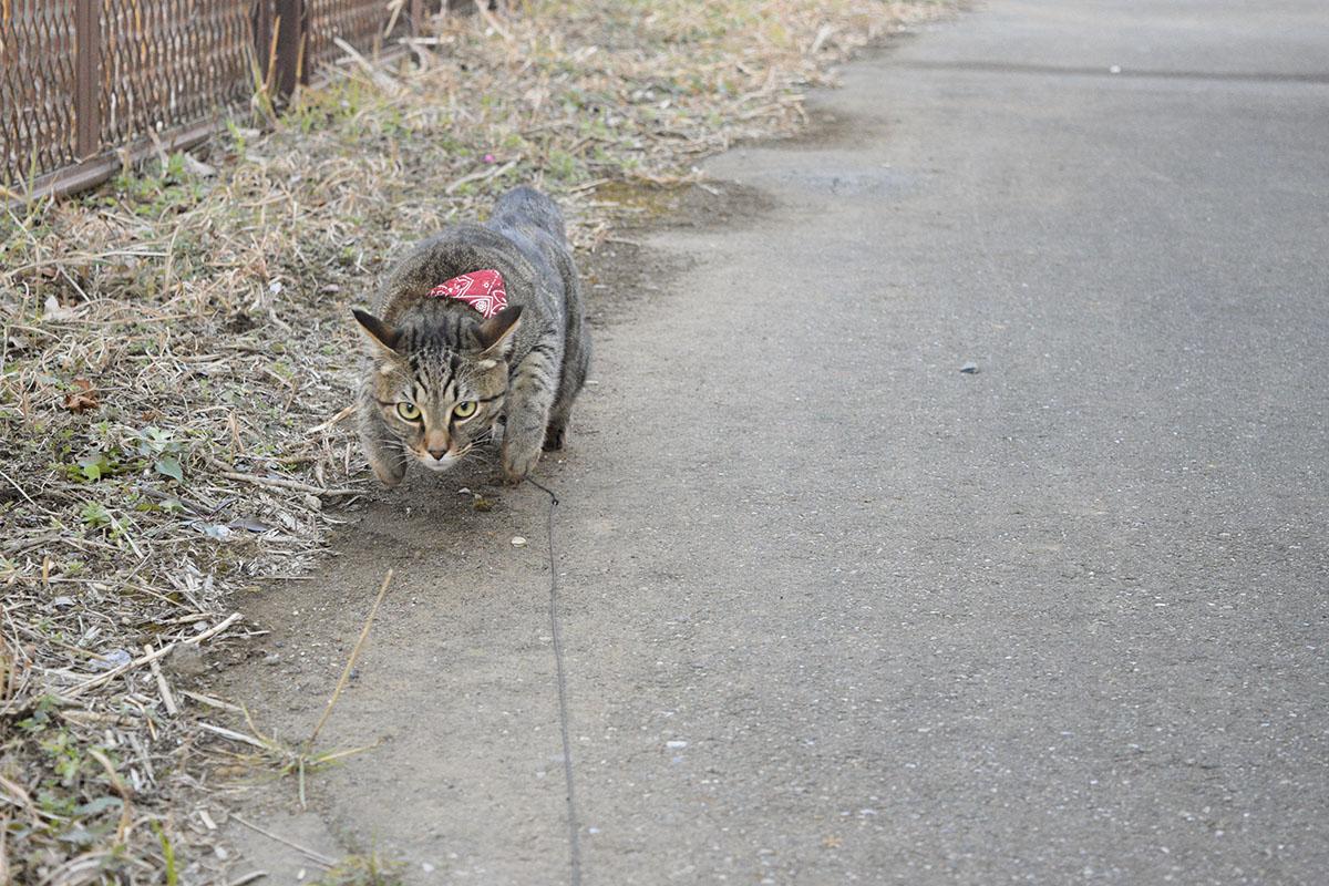 キジバトを狙うキジトラ猫の虎ノ介