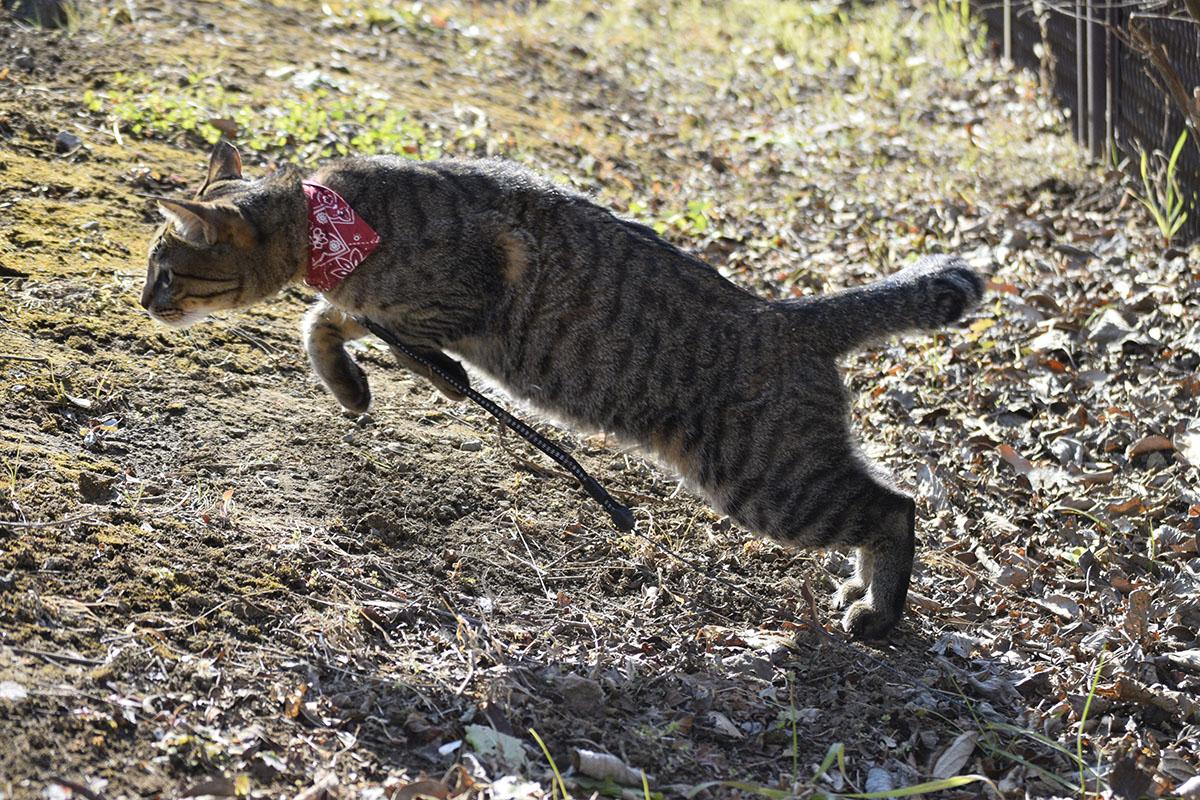 穴を見つけて駆け寄るキジトラ猫の虎ノ介