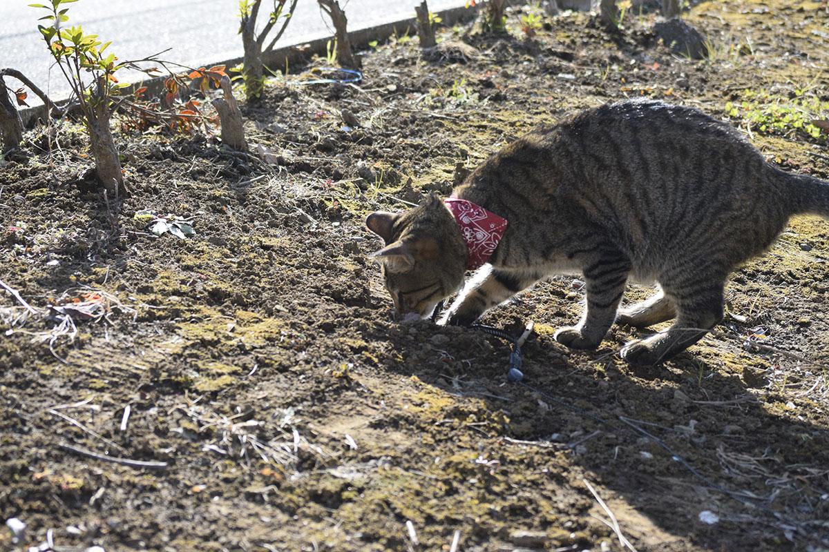 穴に顔を入れるキジトラ猫の虎ノ介