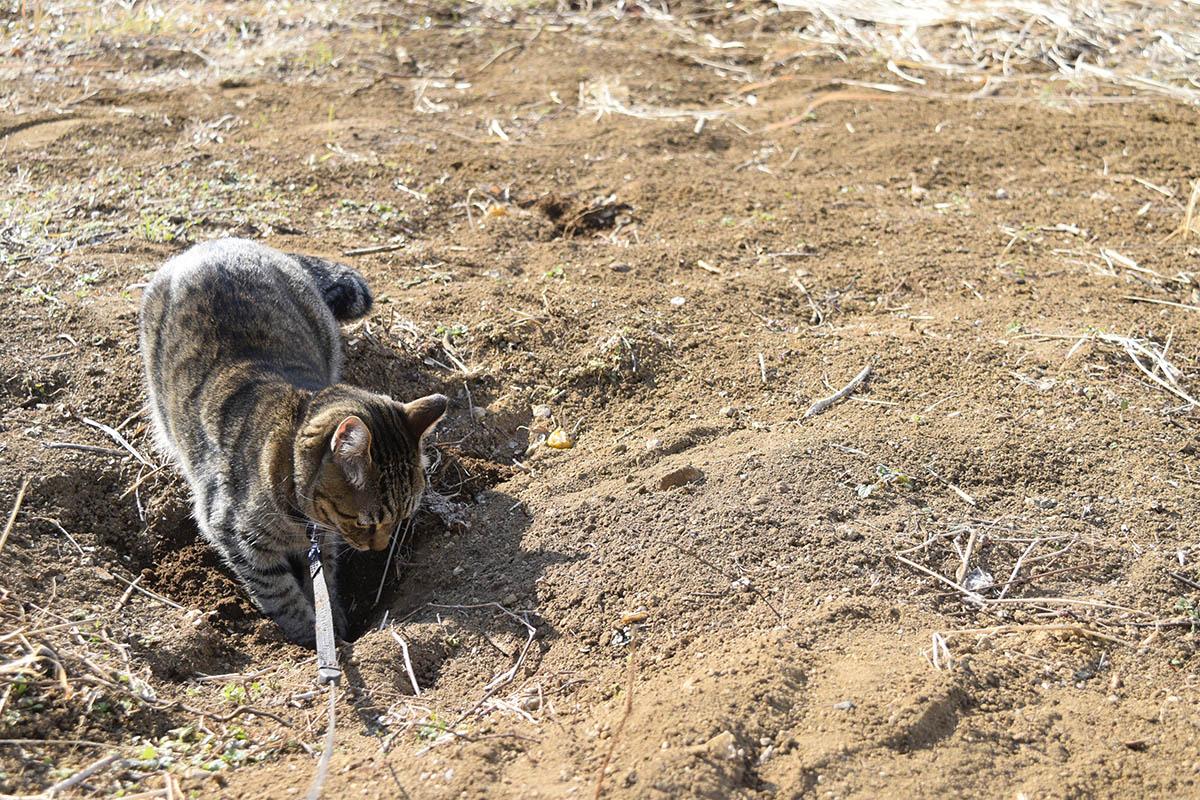 別の穴をチェックするキジトラ猫の虎ノ介