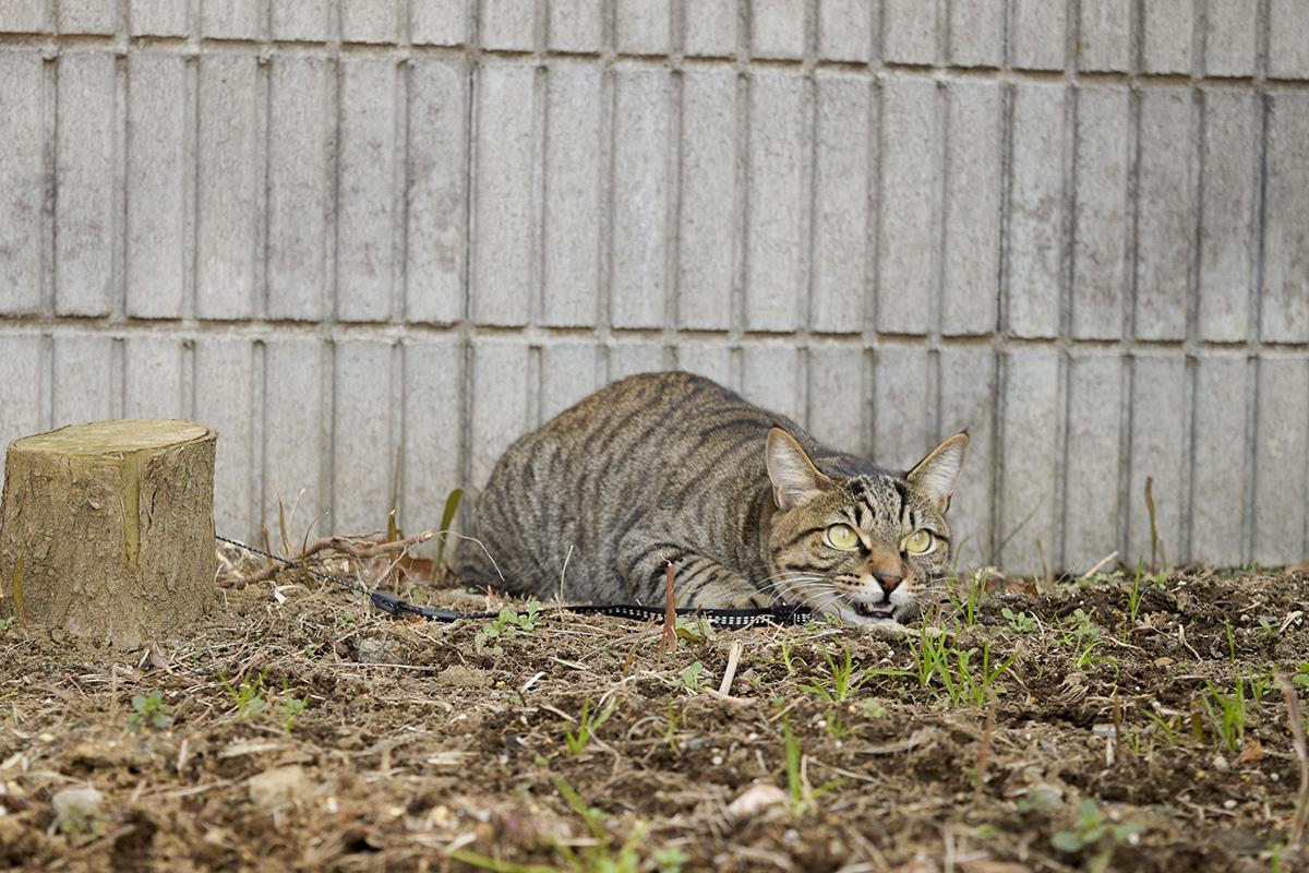 サギを見上げるキジトラ猫の虎ノ介