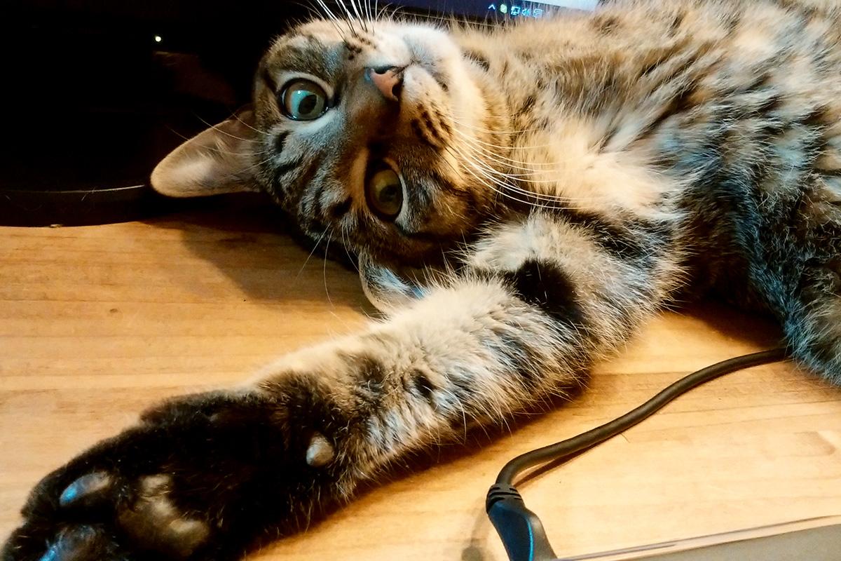 部屋でゴロゴロするキジトラ猫の虎ノ介