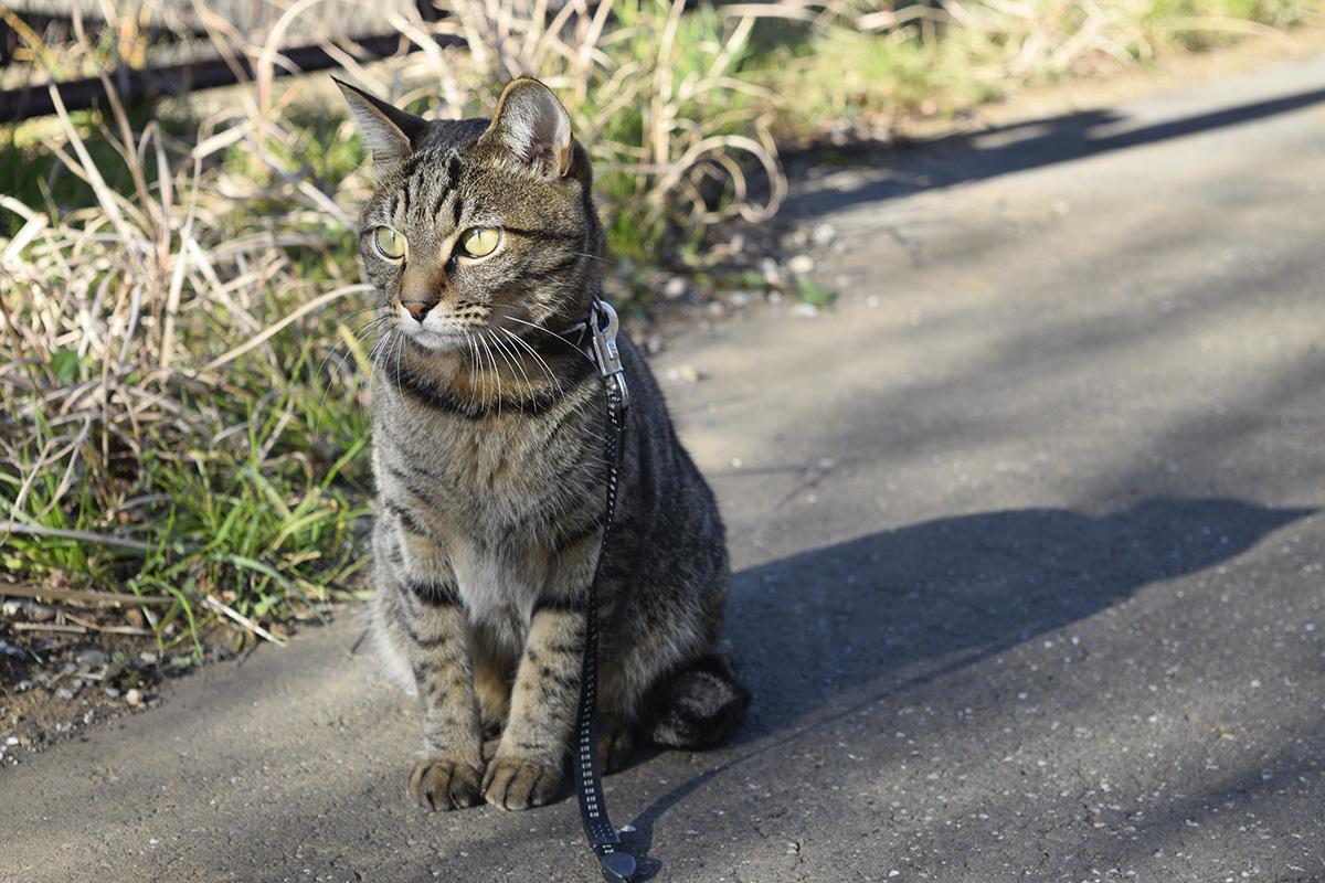 遊歩道にたたずむキジトラ猫の虎ノ介