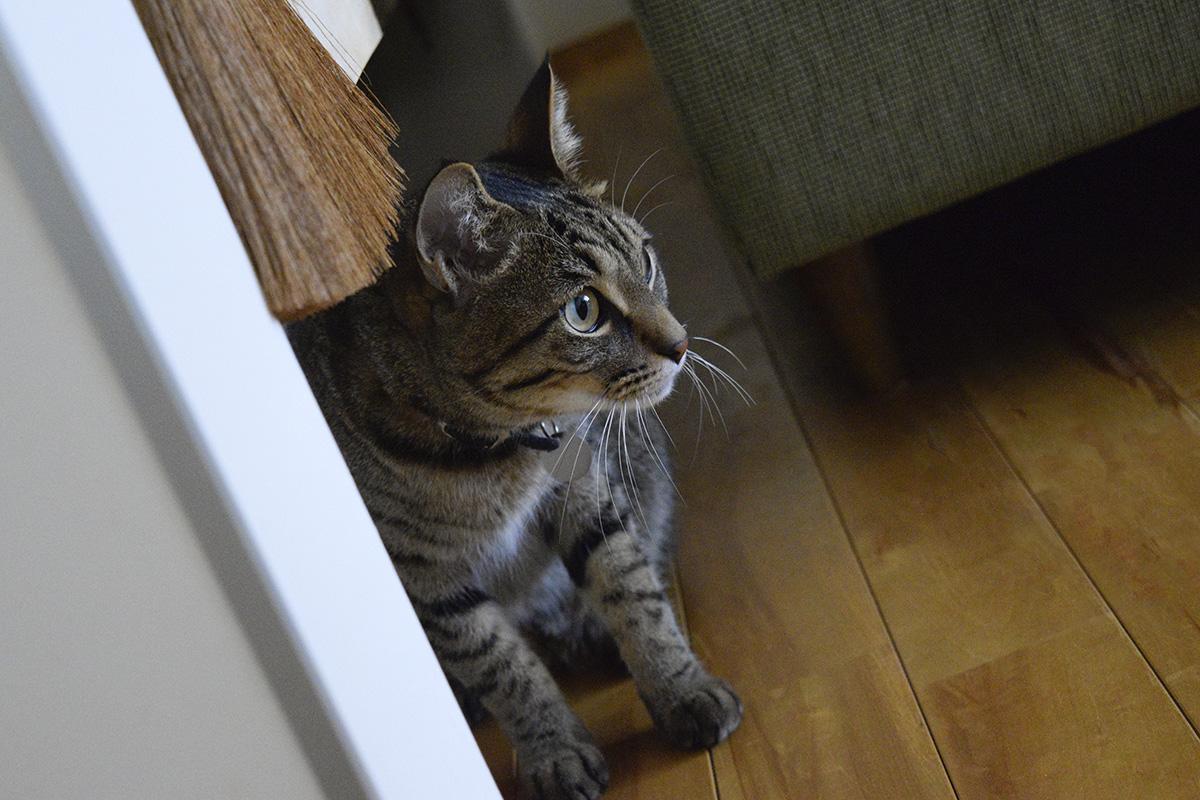 家の中で遊ぶキジトラ猫の虎ノ介