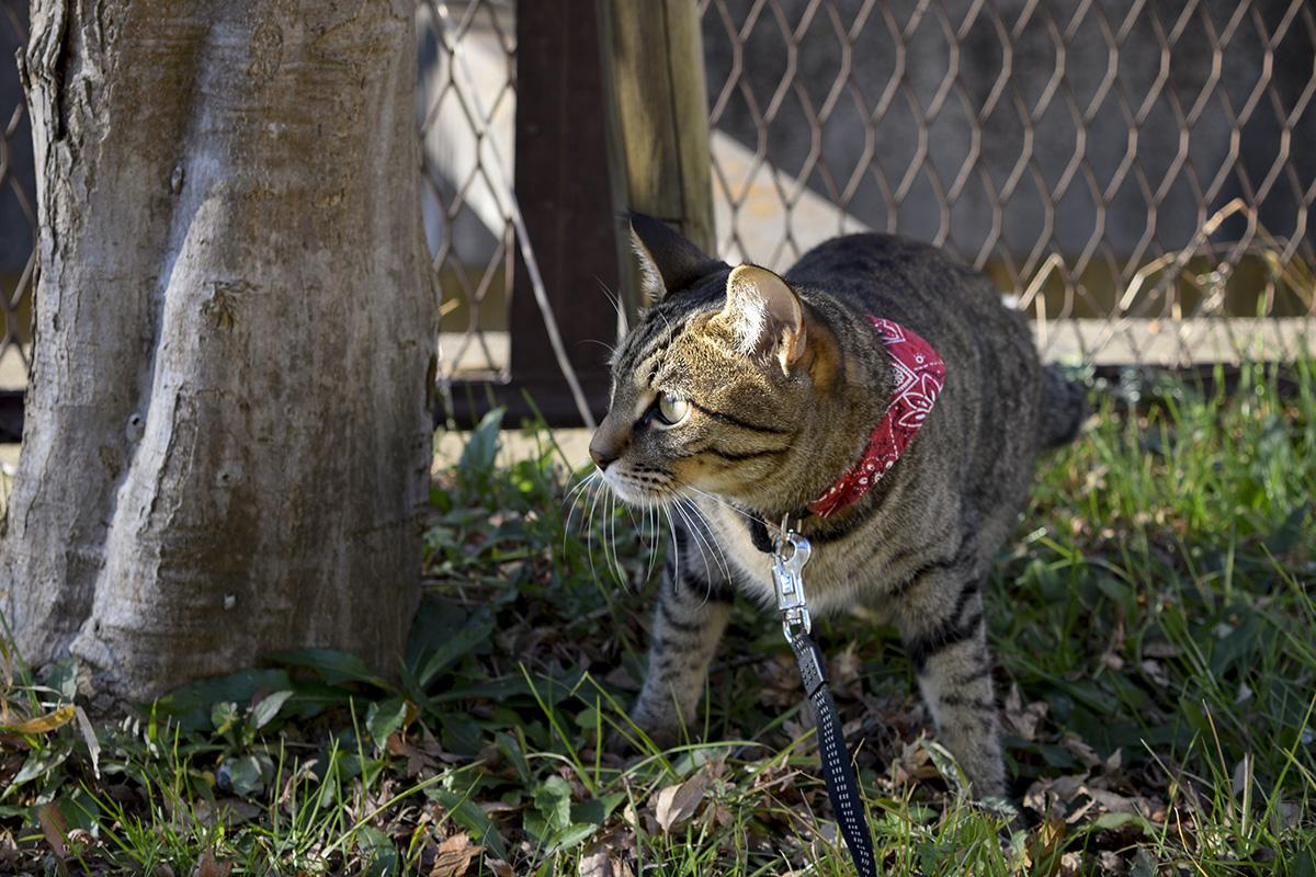 遊歩道で鳥を狙うキジトラ猫の虎ノ介