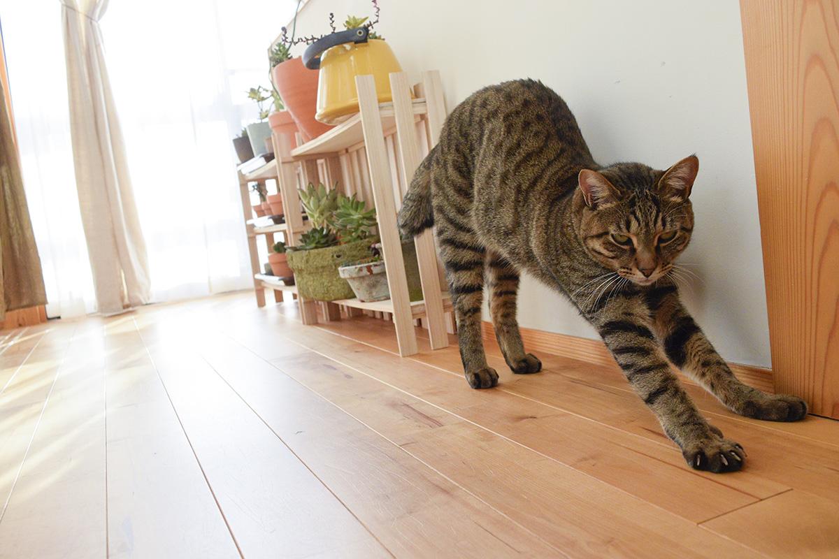 伸びをするキジトラ猫の虎ノ介
