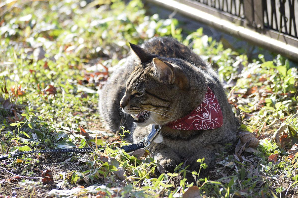 穴の上でくつろいでいたらリードをひっぱられて怒るキジトラ猫の虎ノ介