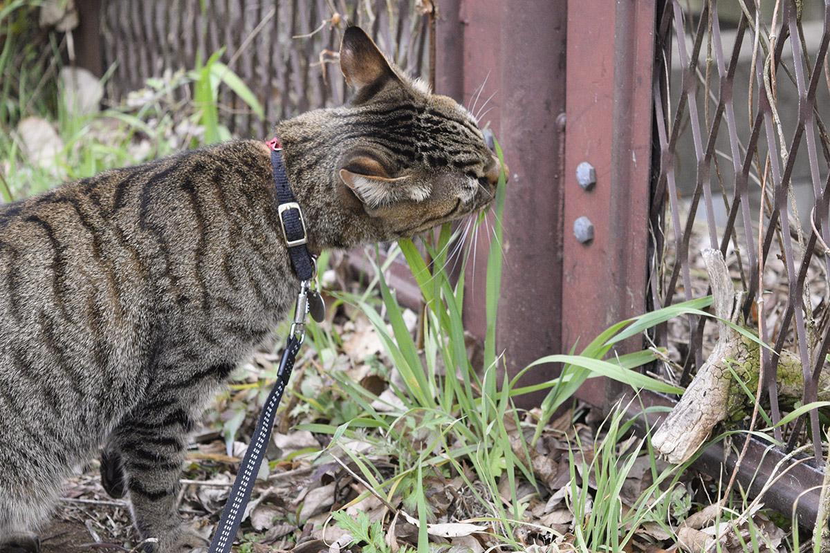 草を食べるキジトラ猫の虎ノ介