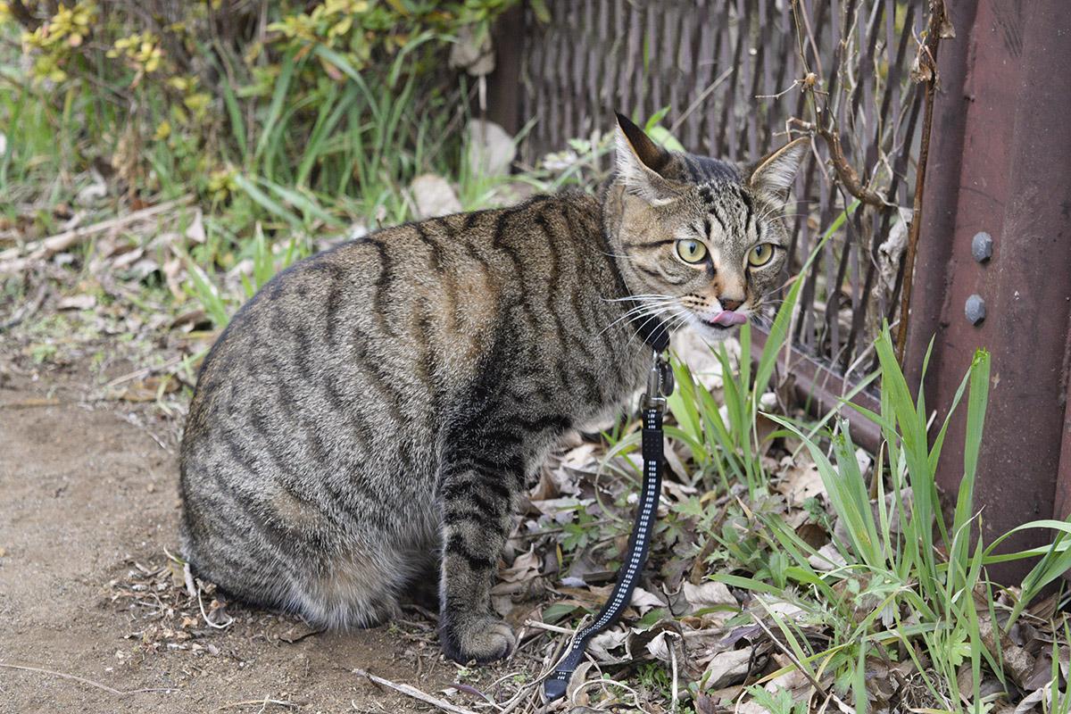 舌なめずりをしながら鳥を見つめるキジトラ猫の虎ノ介