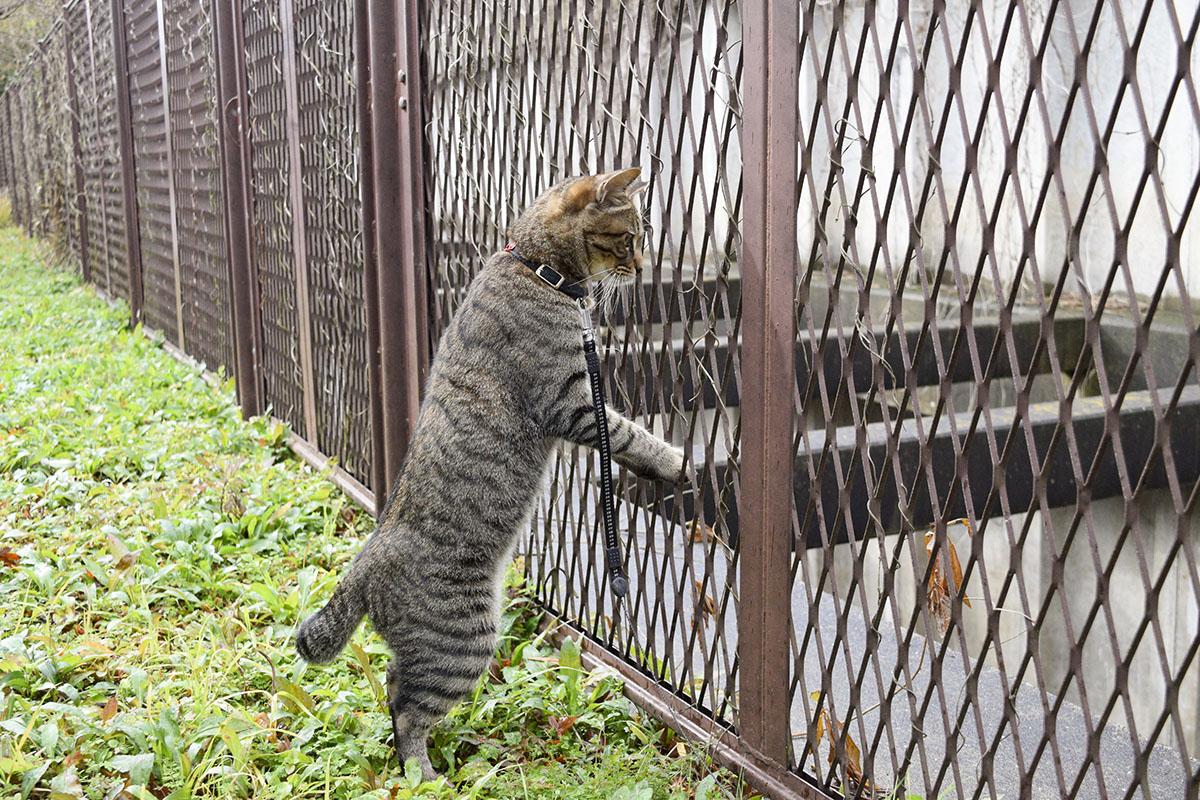 雨の中フェンスの向こうをのぞくキジトラ猫の虎ノ介