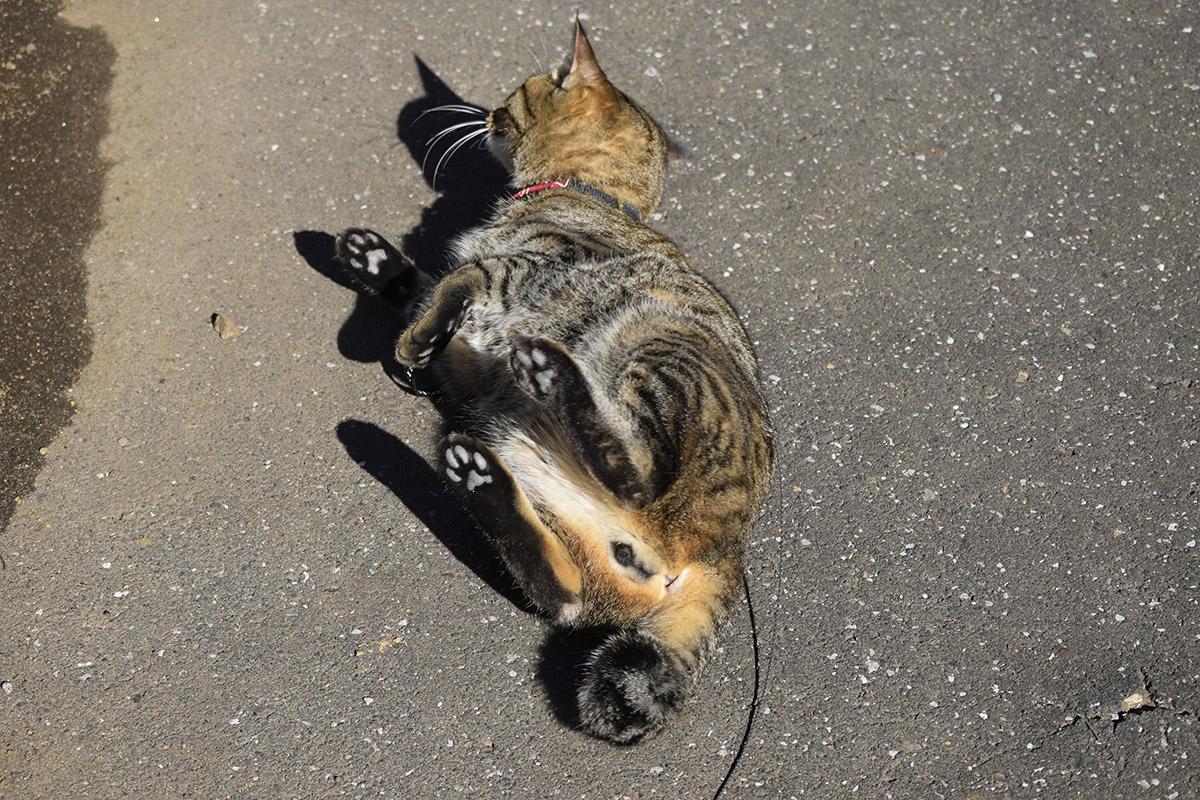 犬が通り過ぎた後のキジトラ猫の虎ノ介