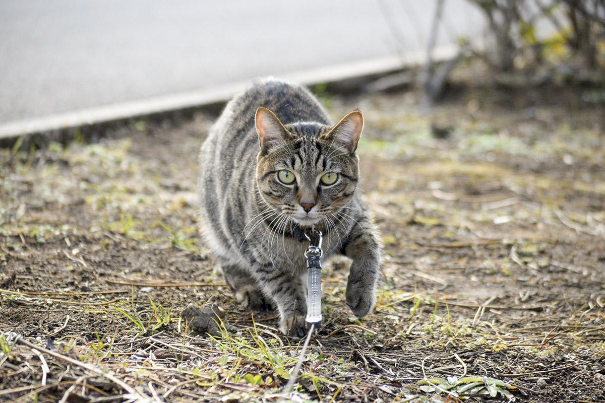 こっそり近づくキジトラ猫の虎ノ介