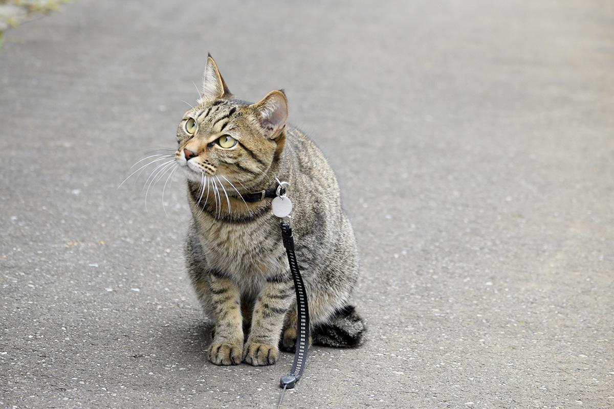 遠くの様子をうかがうキジトラ猫の虎ノ介