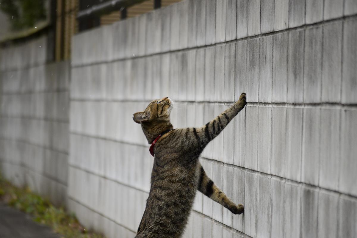 雪に気が付くキジトラ猫の虎ノ介
