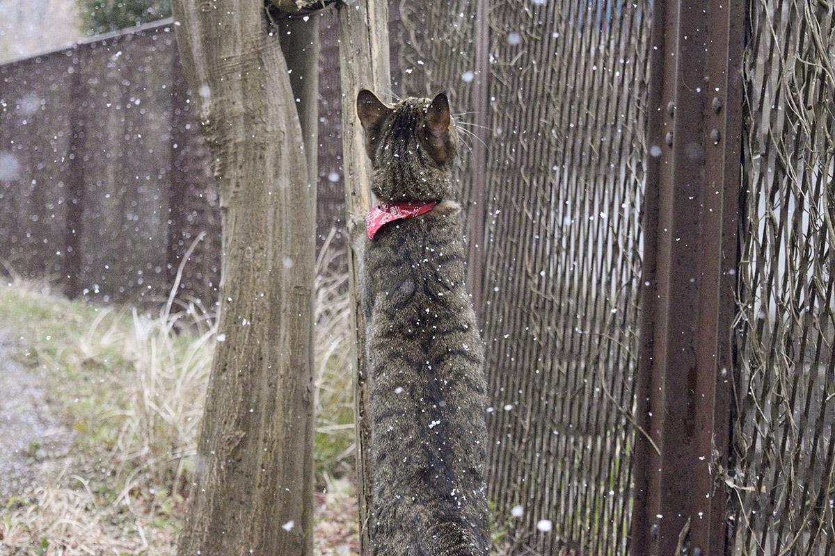 雪を捕まえようとするキジトラ猫の虎ノ介