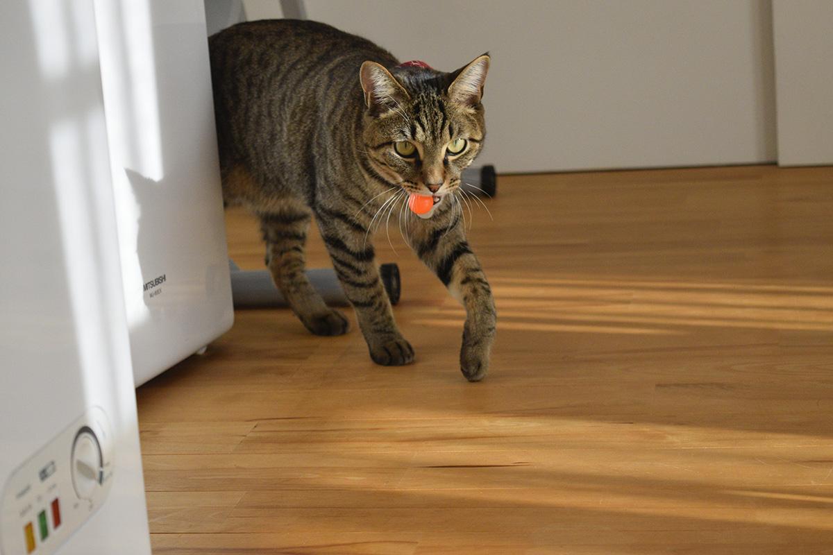 スーパーボールを加えて歩くキジトラ猫の虎ノ介